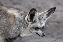 Fox Eared del blocco Fotografia Stock Libera da Diritti