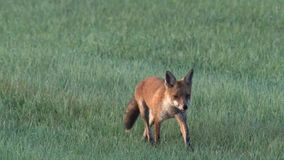 A fox in the early morning stock footage