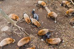Fox eating all together Royalty Free Stock Photo