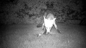 Fox eating from pile of discarded kitchen scraps. stock video footage