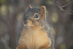 Fox-Eichhörnchen stockbilder