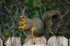 Fox-Eichhörnchen Stockfotos