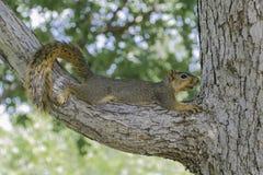 Fox-Eichhörnchen Stockfoto