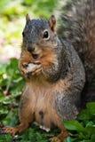 Fox-Eichhörnchen, das eine Erdnuss isst Stockfotografie