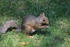 Fox-Eichhörnchen im Gras stockfotografie