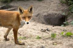 Fox in einer Reinigung, ein Porträt Stockfoto