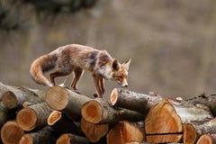 Fox em registros fotografia de stock
