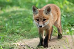 Fox em um esclarecimento Fotografia de Stock Royalty Free
