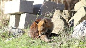 Fox em uma floresta em Toscânia em Itália vídeos de arquivo