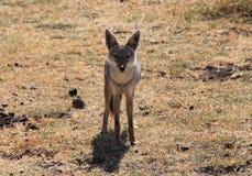 Fox en Afrique Photo stock