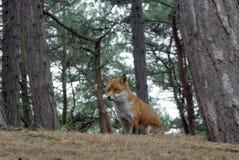 Fox en arbolado fotografía de archivo