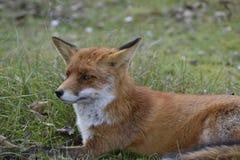 Fox en el bosque en los Países Bajos Foto de archivo