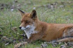 Fox en el bosque en los Países Bajos Imagenes de archivo