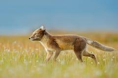 Fox en el prado con las flores, Svalbard, Noruega de la hierba Animal hermoso en el campo de la floración Zorro corriente Escena  Imagen de archivo