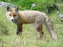 Fox en Eslovaquia Fotos de archivo