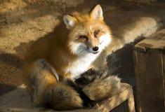 Fox en hiver Photographie stock