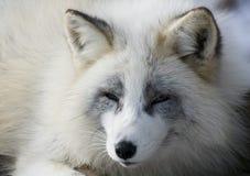 Fox en hiver Image stock