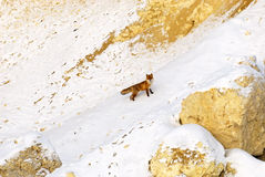 Fox en hiver Photos stock