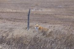 Fox en hiver Images stock
