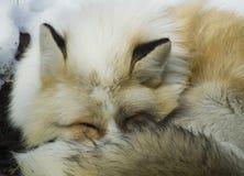 Fox en invierno Foto de archivo libre de regalías