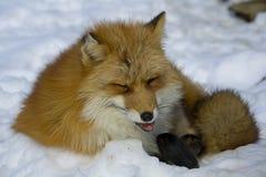 Fox en invierno Fotos de archivo