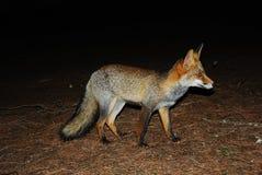Fox en la noche. Imagenes de archivo