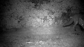 Fox en la noche con la observación blanca grande del gato metrajes