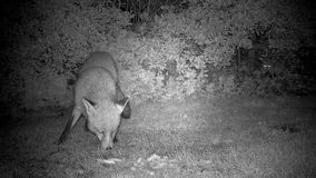 Fox en la noche con la observación blanca grande del gato almacen de metraje de vídeo