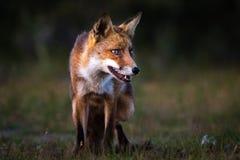 Fox en la puesta del sol Imagenes de archivo
