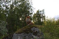 Fox en la roca Foto de archivo