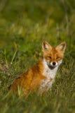 Fox en prado Fotos de archivo