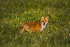 Fox en prado Fotos de archivo libres de regalías