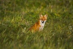 Fox en prado Foto de archivo libre de regalías