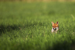 Fox en un claro Imágenes de archivo libres de regalías