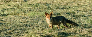 Fox en una caza de la mañana Imagen de archivo libre de regalías