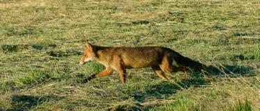 Fox en una caza de la mañana Fotografía de archivo