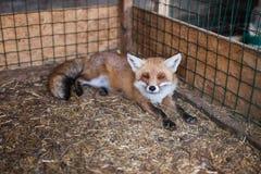 Fox en una jaula Imagen de archivo