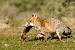 Fox escapes through the field with a dam in the mouth Stock Photo