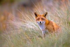 Fox europeo que mira a escondidas a través de la vegetación Imágenes de archivo libres de regalías