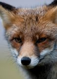 Fox face Stock Photo