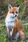 Fox face. Fox front of the camera. Krasnoayrsk, Russia. Fox face. Fox front of the camera. Siberia, Krasnoayrsk, Russia Stock Photos
