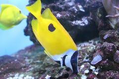 Fox face rabbit fish on to aquarium Stock Image