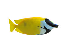 Fox Faced Rabbit Fish Stock Images