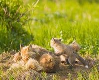 Fox-Familie Lizenzfreie Stockbilder
