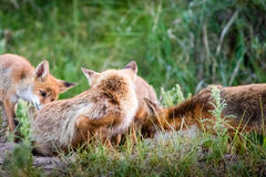 Fox-Familie lizenzfreie stockfotos