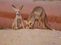 Fox-Familien-Paar-Essen Lizenzfreies Stockbild