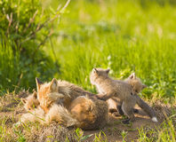 Fox Family royalty free stock images