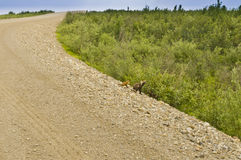 Fox family on Dempster Highway Stock Photos
