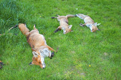 Fox family killed by hunting farmers. Dead foxes killed by hunters stock photos