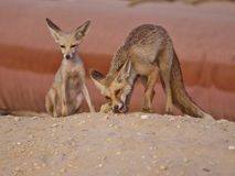 Fox Family Pair Eating. This urban desert fox and his partner eating after the kill Royalty Free Stock Image